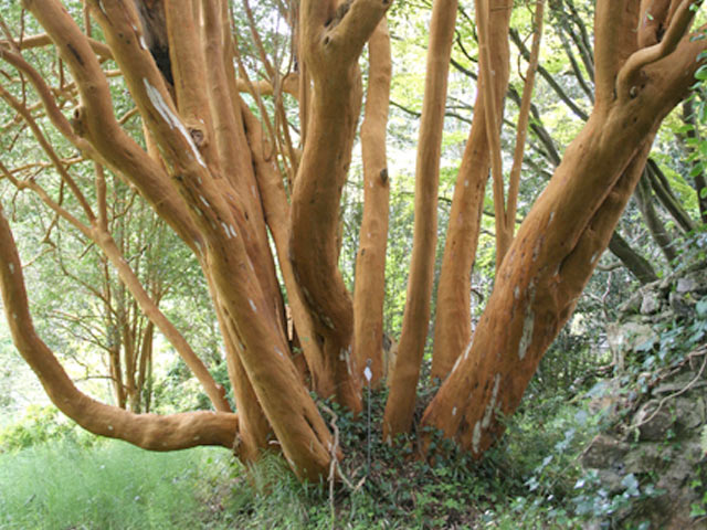 Myrtus luma syn. Myrtus apiculata