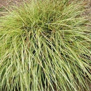 Carex lucida