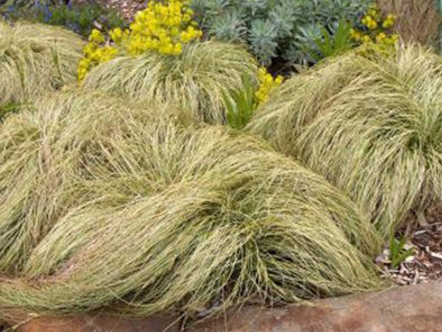 Carex comans 'Frosted Curls